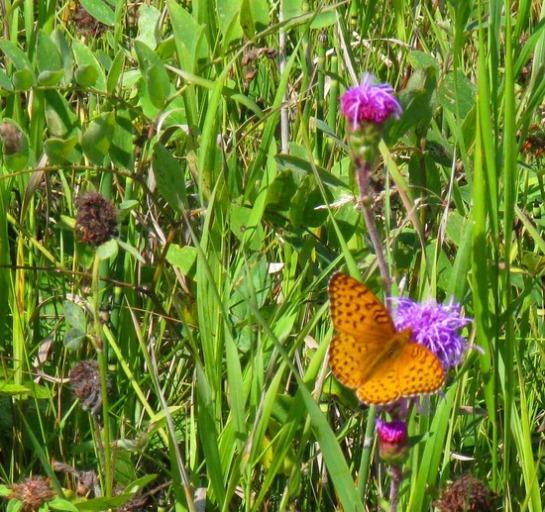 4.1251416226.butterfly-in-the-meadow