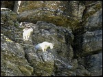 thumbnail.large.4.1261919284.mountain-goats-at-logan-pass