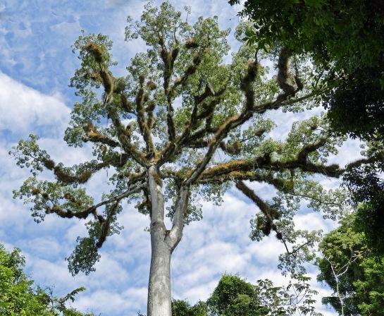 """Ceiba """"Tree of Life"""""""