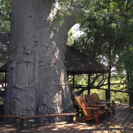 700-year old baobob tree