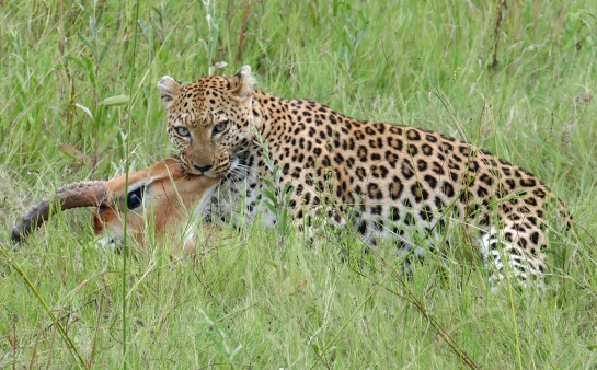 Leopard suffocating an impala