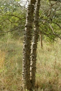 Knob Thorn Tree