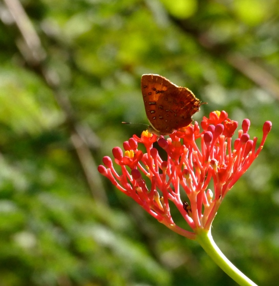 False Face Butterfly