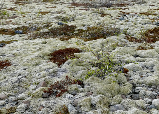 A carpet of lichen and moss