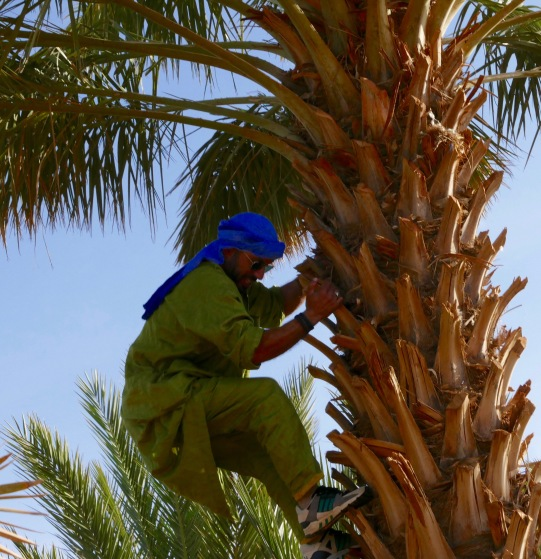 How to Climb a Date Palm